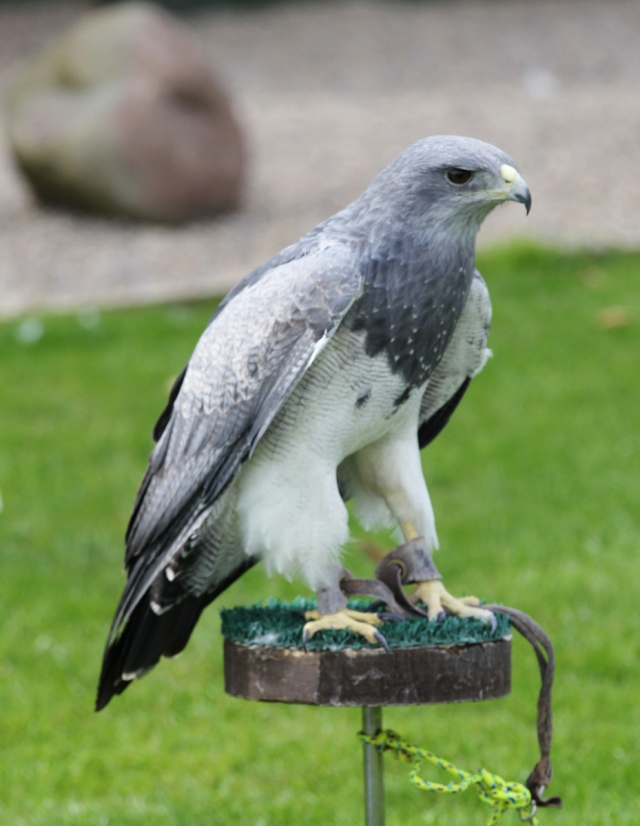 Grey Eagle Buzzard